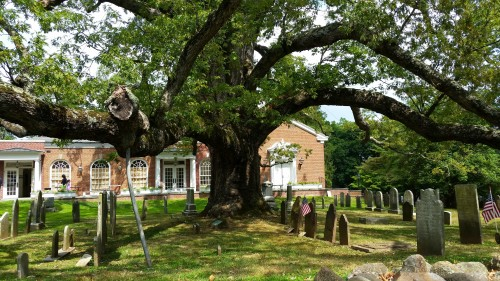 this tree is over 600 years old and in a church's side-yard cemetery.